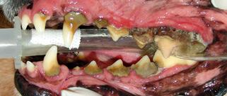 左側が口の先端です。 黄土色のモノが歯石です。 歯石が歯周病の大きな原因になります。