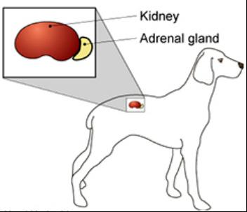 上のクリーム色の部分が、副腎と言う臓器です。 その副腎機能が低下した病気が、アジソン病です。